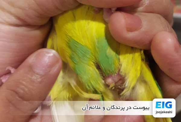 یبوست در پرندگان و علائم آن - جوجه کشی دات کام